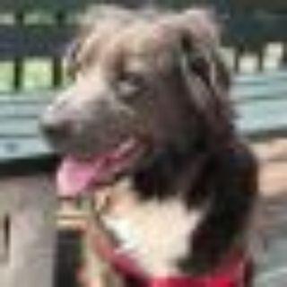 Cardi B Chow Chow - Great Pyrenees Dog