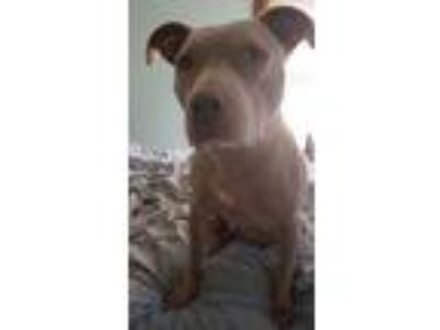 Adopt Ginger a Tan/Yellow/Fawn Bull Terrier / Weimaraner / Mixed dog in Temple