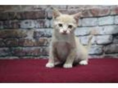Adopt Farrah a Tan or Fawn Domestic Shorthair / Domestic Shorthair / Mixed cat