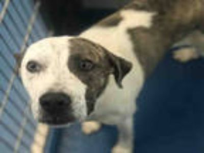 Adopt BENZE a Brindle - with White American Pit Bull Terrier / Mixed dog in
