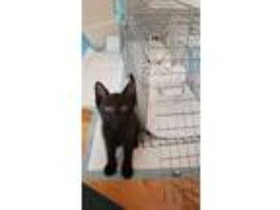 Adopt Baby Panther a All Black American Shorthair cat in Dallas, TX (25867993)