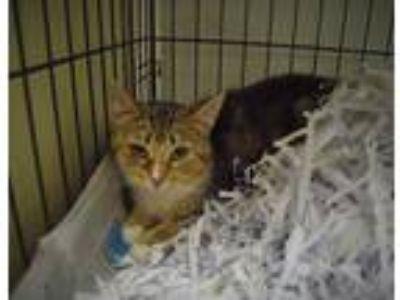 Adopt Reva a Calico or Dilute Calico Domestic Mediumhair (medium coat) cat in