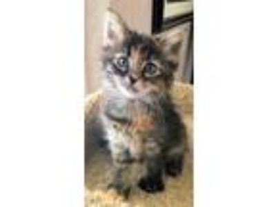 Adopt Carol a Brown or Chocolate Domestic Mediumhair / Domestic Shorthair /