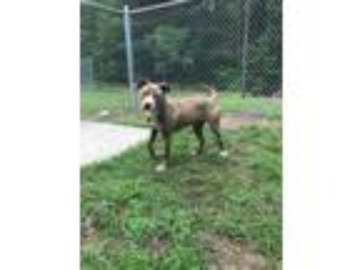 Adopt Xena a Tan/Yellow/Fawn American Pit Bull Terrier / Mixed dog in