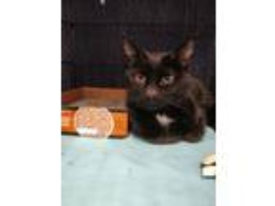 Adopt Alen a Black (Mostly) Domestic Shorthair (short coat) cat in Avon