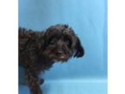 Adopt Mei a Yorkshire Terrier, Poodle