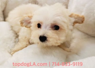 Maltipoo Puppy - Female - Ofelia ($1,250)