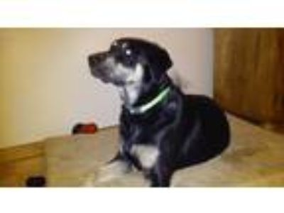 Adopt Pongo a Black - with Tan, Yellow or Fawn Labrador Retriever / Doberman