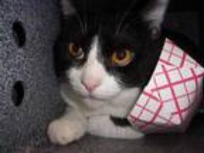 Adopt Teddy a All Black Domestic Shorthair / Domestic Shorthair / Mixed (short