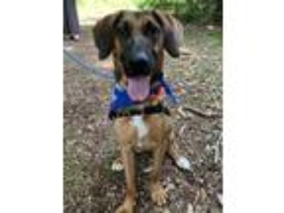 Adopt Muffin a Hound (Unknown Type) / Shepherd (Unknown Type) / Mixed dog in