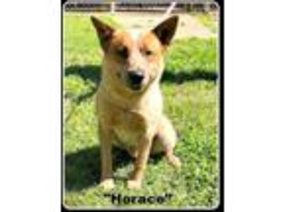 Adopt Horace a Red/Golden/Orange/Chestnut - with White Australian Cattle Dog /