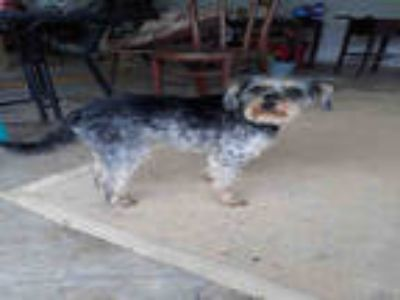 Adopt BIJOU a Black - with Gray or Silver Schnauzer (Miniature) / Mixed dog in