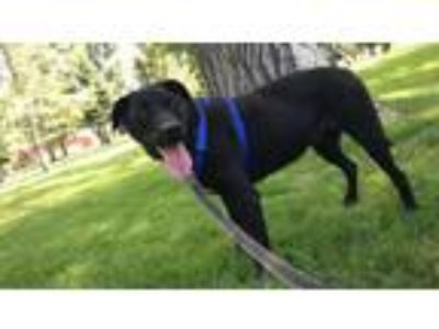 Adopt Junior a Labrador Retriever
