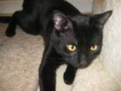 Adopt Fergie a Black (Mostly) Domestic Shorthair (short coat) cat in Norristown
