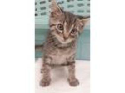 Adopt Dweedle dee a Gray, Blue or Silver Tabby American Shorthair / Mixed (short