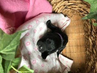 Saint Berdoodle PUPPY FOR SALE ADN-87662 - St Berdoodle Puppies