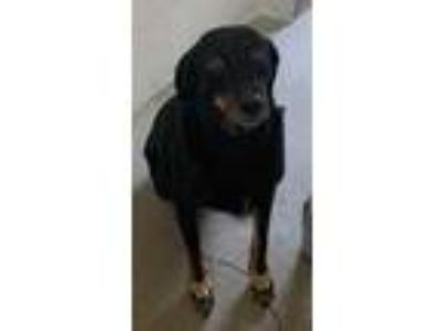 Adopt Molly a Black Shepherd (Unknown Type) / Mixed dog in Bartlesville
