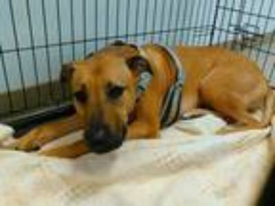 Adopt SCOOBY a Tan/Yellow/Fawn German Shepherd Dog / Black Mouth Cur / Mixed dog