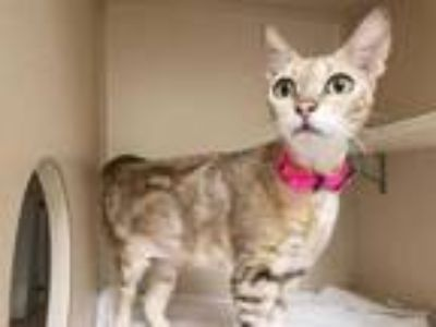 Adopt JEWELS a Brown Tabby Bengal / Mixed (short coat) cat in St.