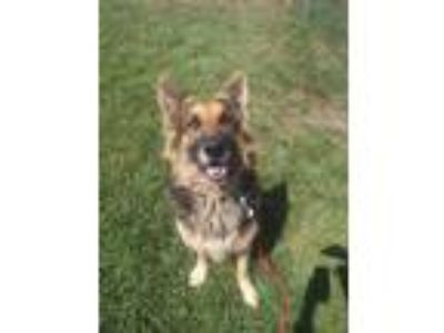 Adopt HERO a Tan/Yellow/Fawn German Shepherd Dog / Mixed dog in Tangent