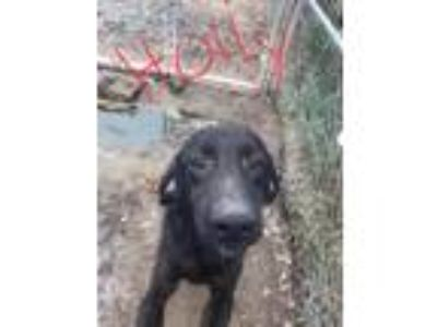 Adopt Holly 3714 a Black Mouth Cur
