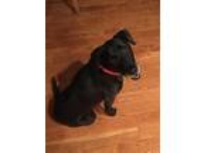Adopt Abby Rose a Black Labrador Retriever / Mixed dog in Coldwater