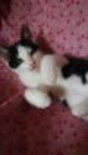 Cosmo Matrix Domestic Short Hair Cat
