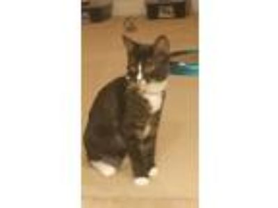 Adopt Jackie a Black & White or Tuxedo Domestic Shorthair (short coat) cat in