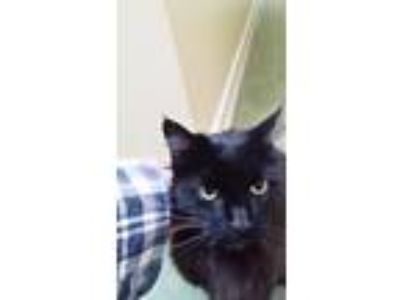 Adopt Bently a All Black Domestic Mediumhair / Mixed cat in San Jose