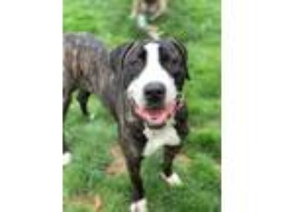 Adopt Jelly a Brindle - with White Mastiff / Great Dane / Mixed dog in