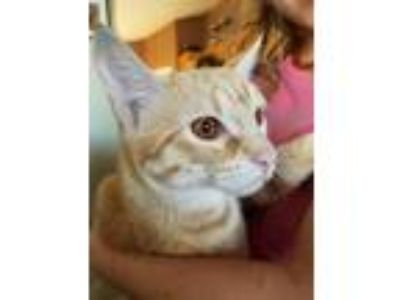 Adopt Orange a Orange or Red (Mostly) American Shorthair / Mixed cat in Gilbert