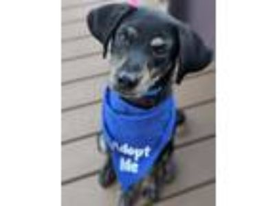 Adopt Rock a Miniature Pinscher, Rat Terrier