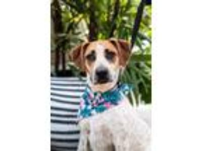 Adopt Ashley *foster needed starting 7/13* a Brittany Spaniel, Cattle Dog