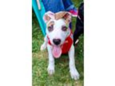 Adopt Mookie a White - with Red, Golden, Orange or Chestnut Mixed Breed (Medium)