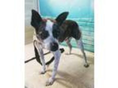 Adopt BUSTER a Boston Terrier, Whippet