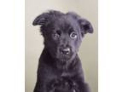 Adopt Camela a Black Chow Chow / Retriever (Unknown Type) / Mixed dog in