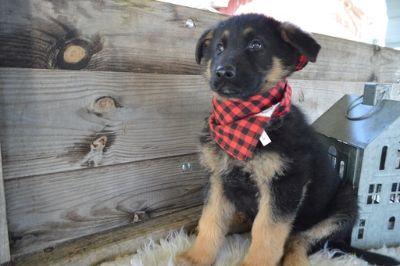German Shepherd Dog PUPPY FOR SALE ADN-114328 - PAWS
