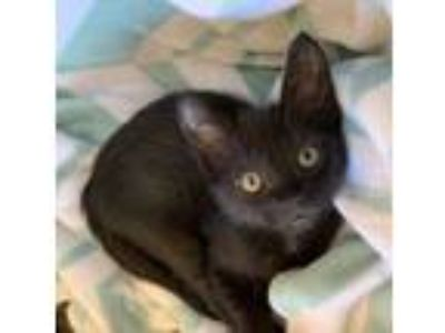 Adopt CHICKEN NUGGET a Domestic Short Hair