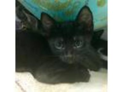 Adopt Cosmo a All Black Domestic Shorthair / Mixed cat in Oakland, CA (25858475)