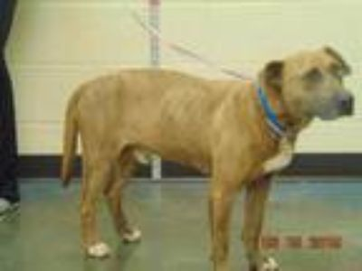 Adopt HARMON a Brindle - with White Mixed Breed (Medium) / Mixed dog in Memphis