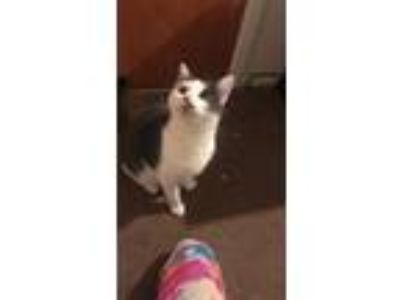 Adopt Grey a Gray or Blue (Mostly) Snowshoe / Mixed cat in Shenandoah