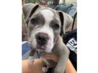 Adopt Louie FKA Wally a American Staffordshire Terrier / Mixed dog in Vineland