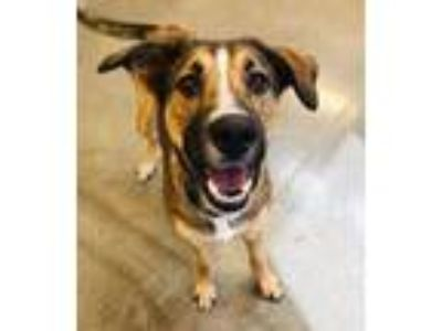 Adopt Sheba a Shepherd, Mixed Breed