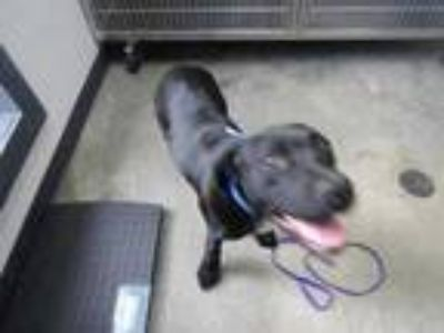 Adopt Hoss a Black American Pit Bull Terrier / Mixed dog in Columbiana