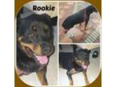 Adopt ROOKIE a Black - with Brown, Red, Golden, Orange or Chestnut Rottweiler /