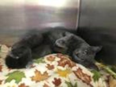 Adopt Clutch a Gray or Blue Domestic Shorthair / Domestic Shorthair / Mixed cat