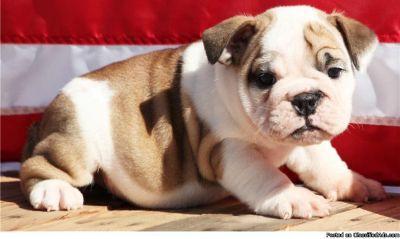 Male and Female English Bulldog Puppies
