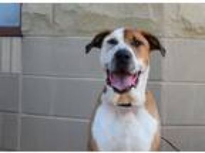 Adopt Jax a Tan/Yellow/Fawn - with White Labrador Retriever / St.
