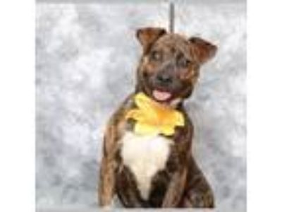 Adopt Ellie a Rat Terrier, Plott Hound