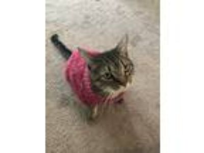 Adopt Keke a Tiger Striped Domestic Mediumhair / Mixed cat in Lexington